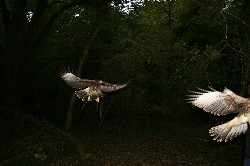 Geoff & Francine Dubiski sent this outstanding photo that they took of Maya and Inca when they flew them recently. It is a stunning photo, it is always interesting to see how far the feathers curl up at the end of the wings when coming in to land.