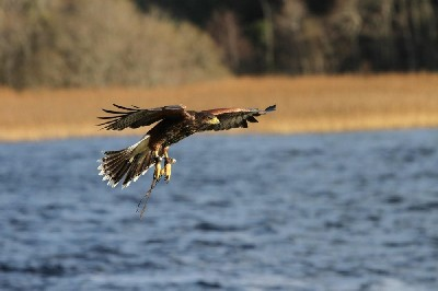 This recent photo shows Stoker when we flew him recently by the lake at Ashford Castle. The babies are expert fliers now, gone are the days of misjudged crash landings!