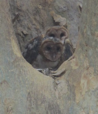 Here is the lovely owl family that Lauren & Jason Brown somehow spotted in Costa Rica.