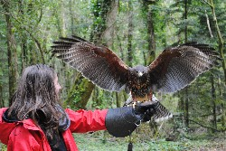 Thank you Abby Harding for these wonderful pictures of a young Ispini. Abby flew Ispini during her Hawk Walk with us last April, when Ispini was only a few months old.