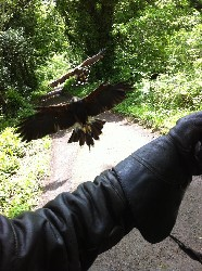 Erica Nordean & Justin Mahaffa sent this great photo of big Joyce & Swift coming in to land when they flew them on their recent Hawk Walks with us.