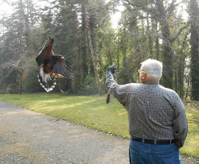Milly coming in to land on Don Wilkinson as he flew her during his recent Hawk Walk with us. Deb Wilkinson captured this great landing moment.